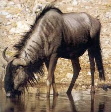 Hunting Blue Wildebeest